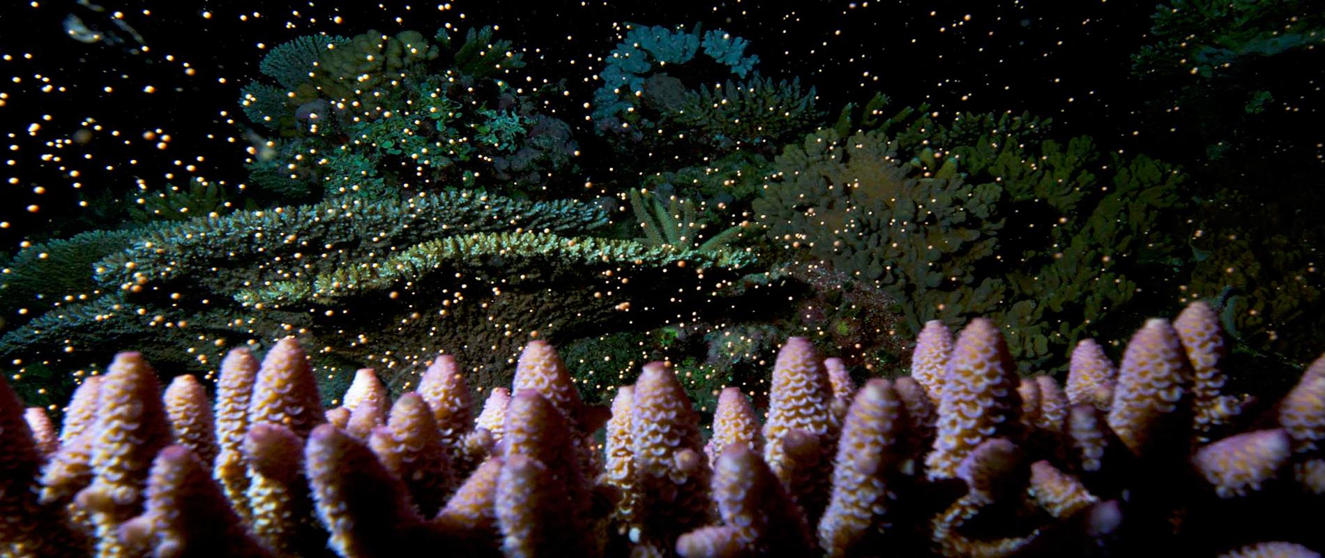 La notte dei coralli, il fenomeno riproduttivo della Grande Barriera Corallina