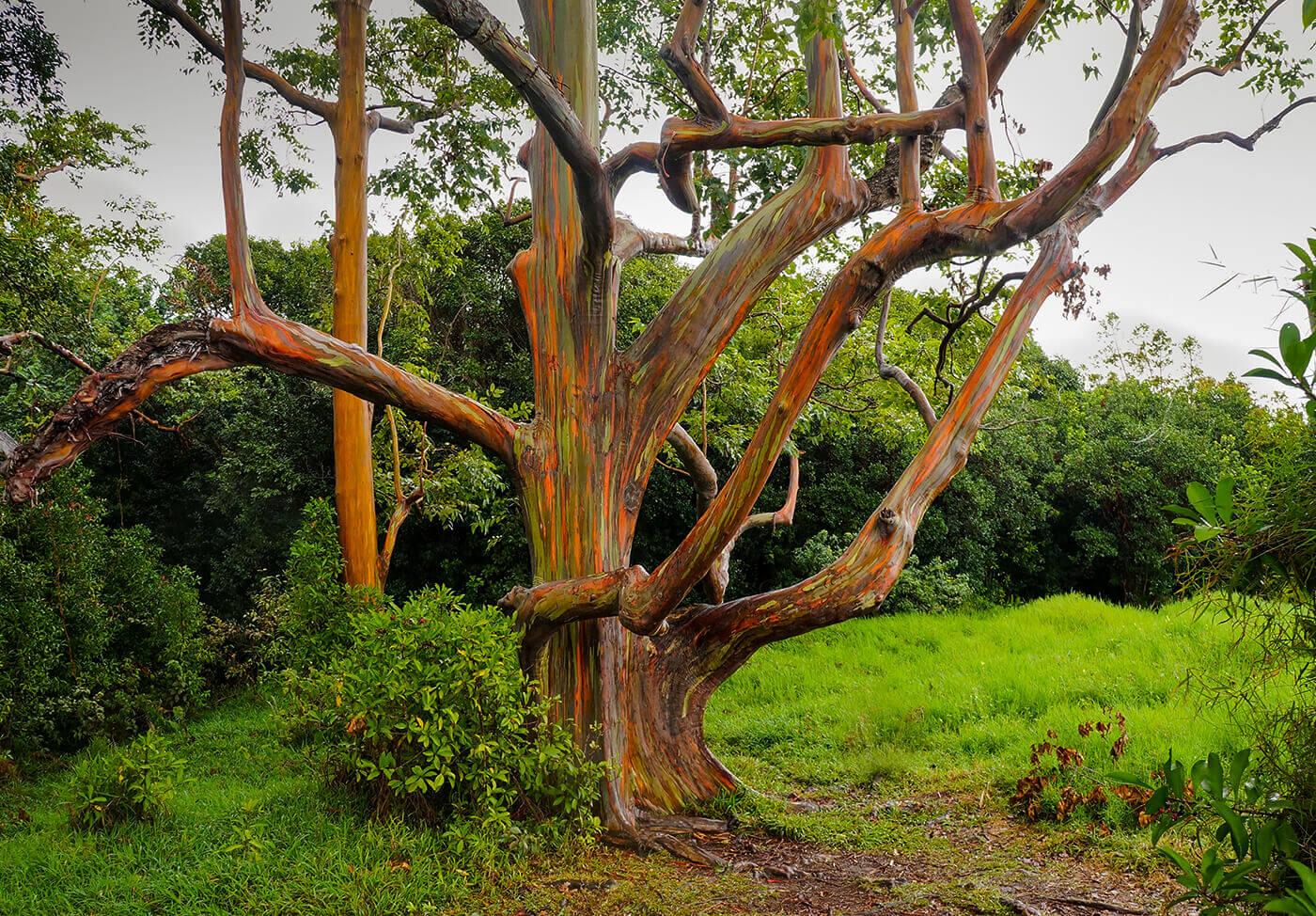 Rainbow-Eucalyptus-Trees-Hawaii