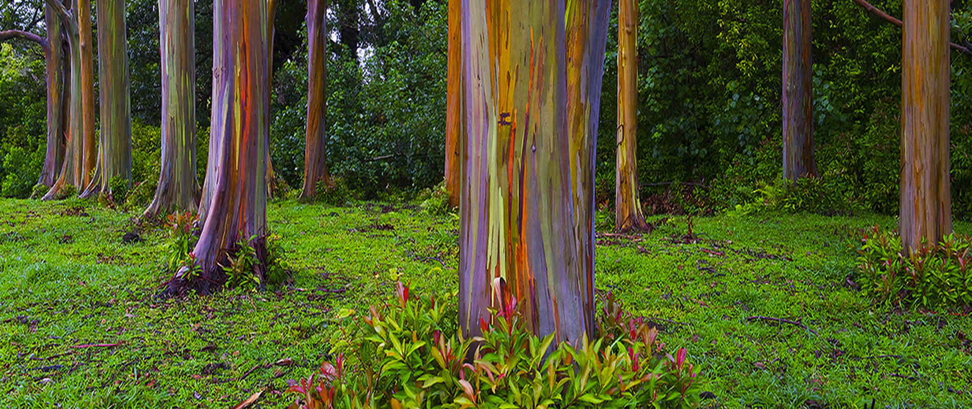 Eucalipto Arcobaleno, l'albero più colorato al mondo