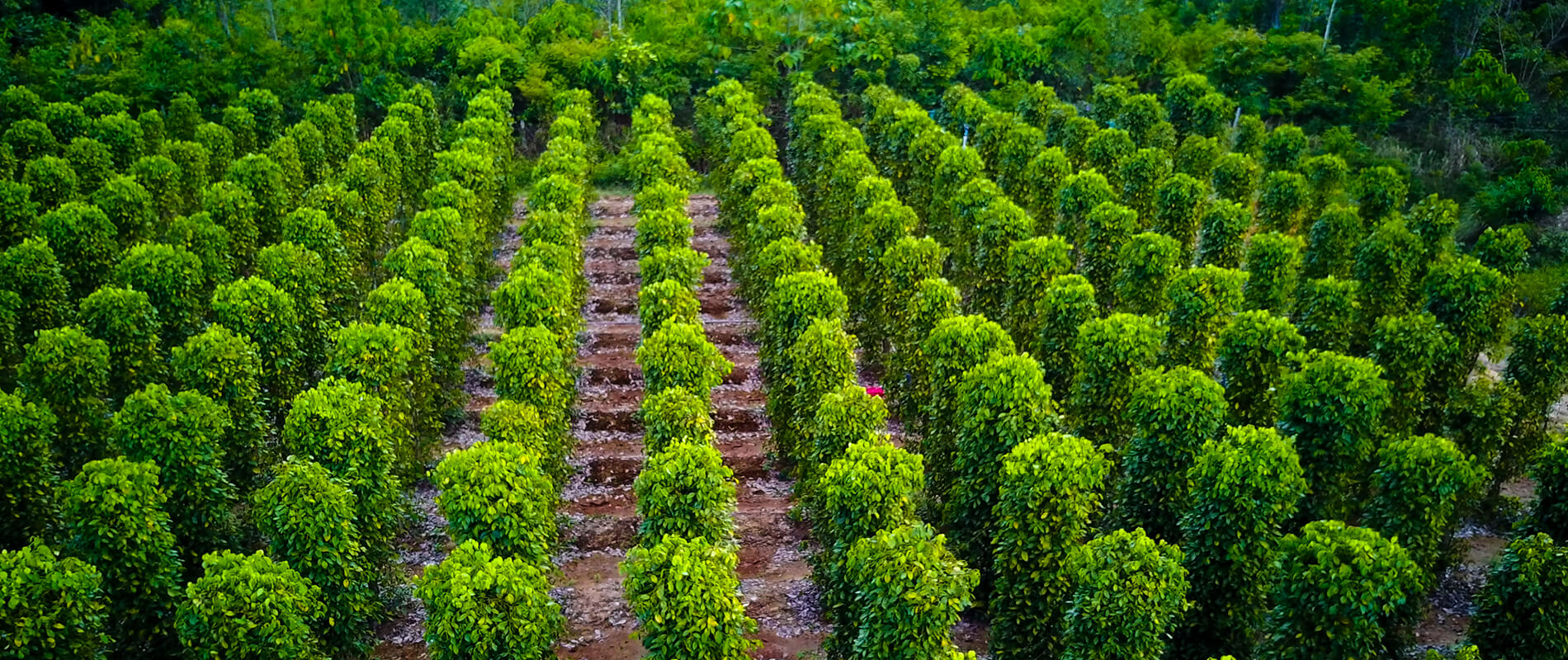 The Stunning Plantations of Phu Quoc Pepper
