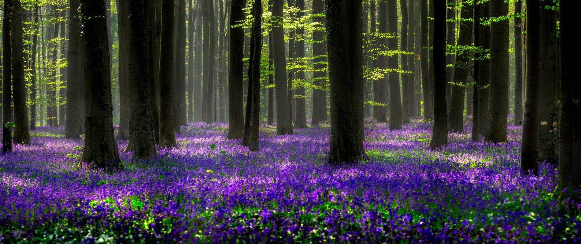 Hallerbos, the Enchanted Forest that Turns Blue
