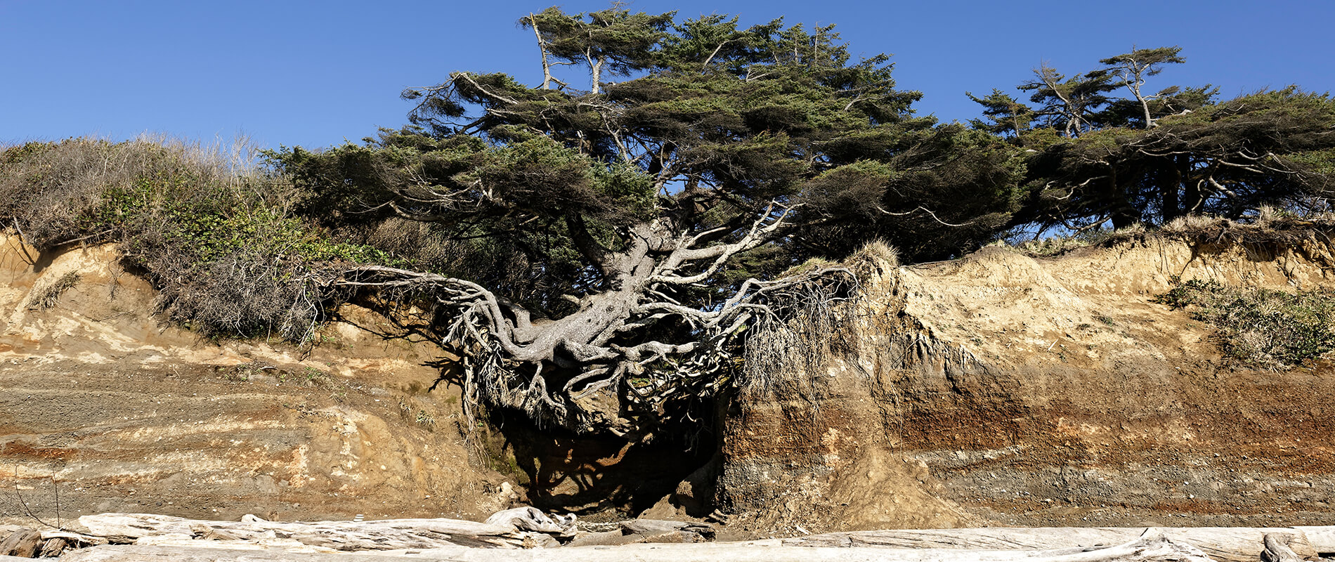 Tree of Life, l'albero immortale di Kalaloch